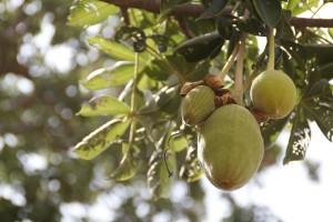 Le fruit du baobab ou pain de singe sur l'arbre