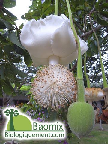 Le fruit du baobab, produit d'exportation vers l'Europe