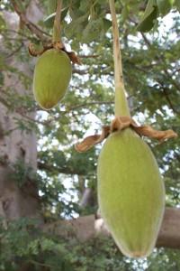 Le fruit du baobab bio sauvage, d'où on extrait la poudre de pain de singe