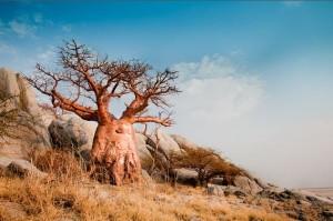 Le Baobab est souvent appelé l'arbre renversé : 9 mois sur 12 il n'a pas de feuilles et ses branches nues ressemblent à des racines…