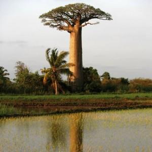 Le majestueux baobab sauvage