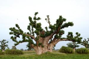 Arbre le baobab sauvage adansonia digitata