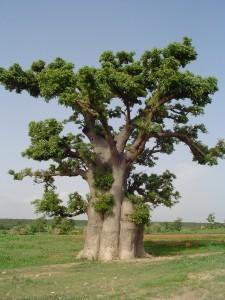 Le baobab bio sauvage adansonia digitata