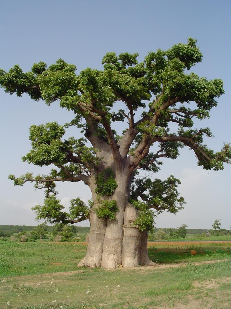 Bon Mercredi Baobab-bio-arbre-baomix-biologiquement-poudre-fruit-feuille-fleur-adansonia-9