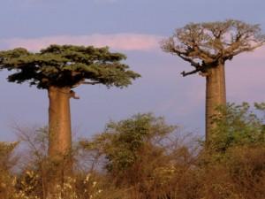 Le baobab sauvage Adansonia Grandidieri de Madagascar