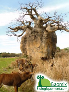 The african baobab tree